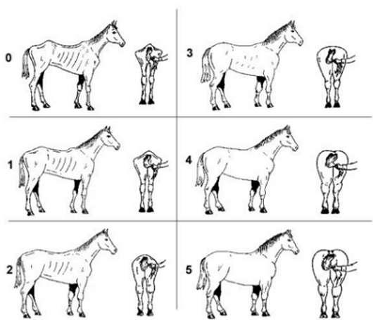 body score diagram