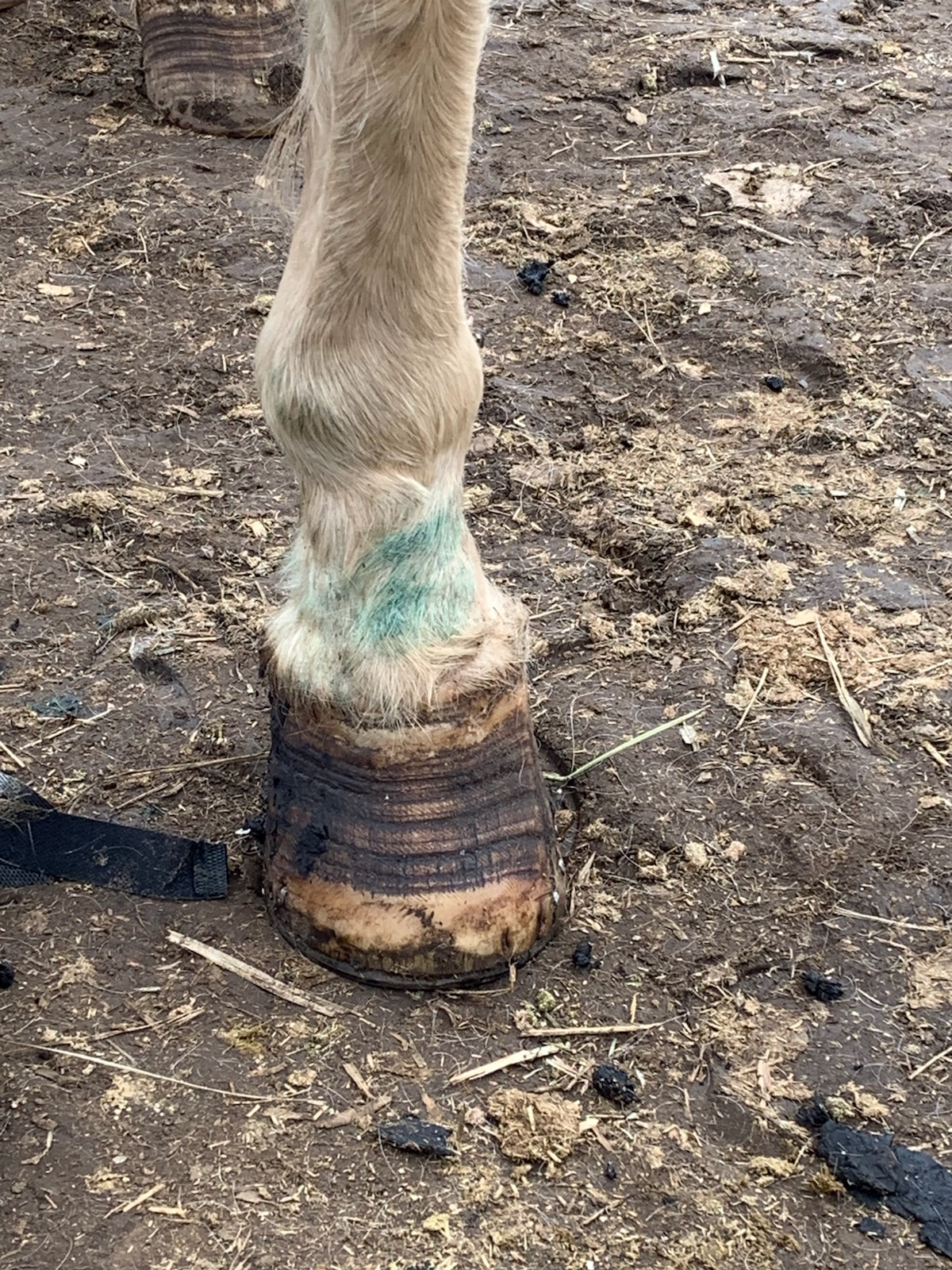 Ani laminitis feet