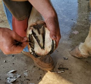 Image of our beautiful horse's infected front hoof